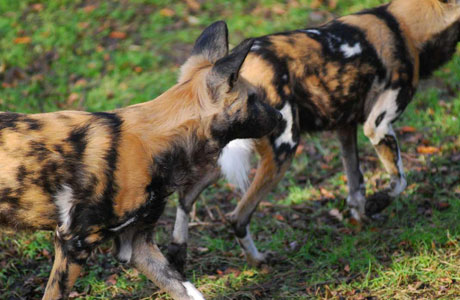 African hunting dog - Did you know panel