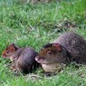 Azara's Agouti adult and young sitting together