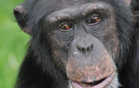 Budongo - Meet the chimps