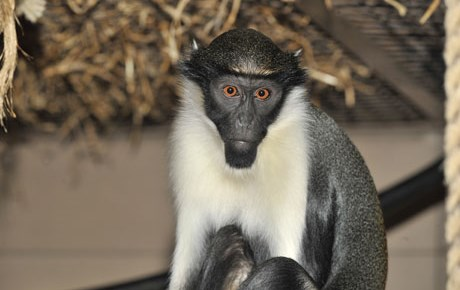 Diana Monkey - Main Panel