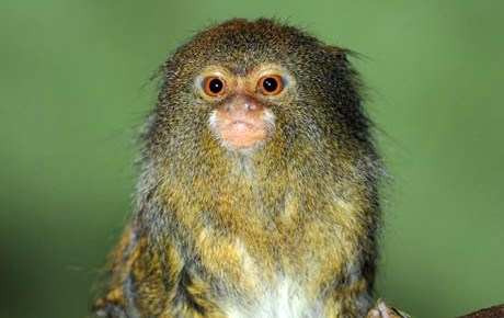 Pygmy Marmoset - Main Panel