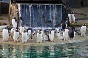 Gentoo Penguin - Did you know panel