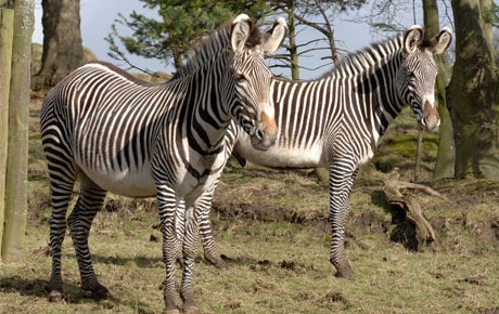 Grevy's Zebra - Main Panel