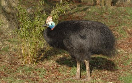 Southern Cassowary - Main Panel