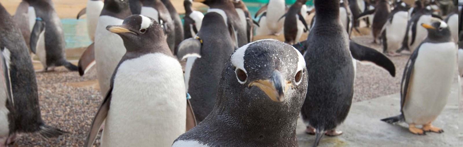 gentoo penguin habitat