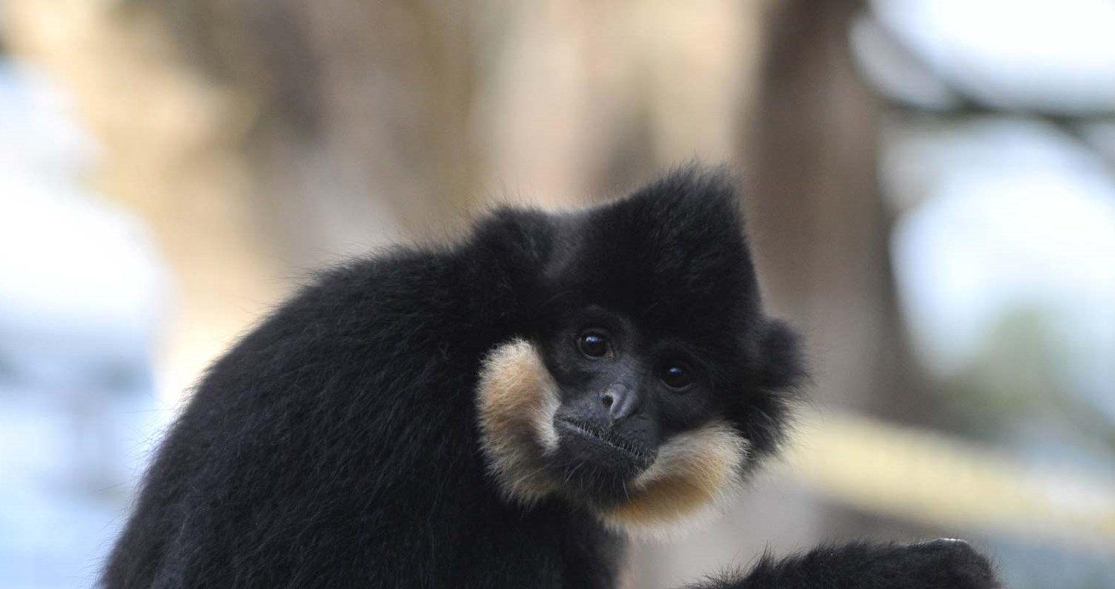 Buff-cheeked gibbons