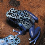 Blue Poison Arrow Frog (3)