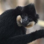 Buff-cheeked Gibbon (1) (1)