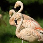 Chilean Flamingo (2)