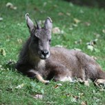 Chinese Goral (2)