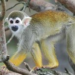 Common Squirrel Monkey (2)