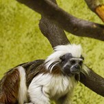 Cotton-top tamarin (1)