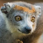 Crowned Lemur (3)