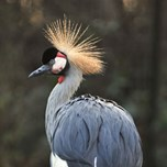 East African Crowned Crane (2)