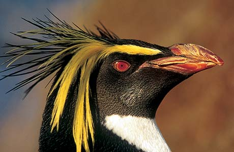 Northern Rockhopper Penguin