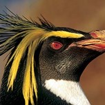 Northern Rockhopper Penguin (2)
