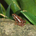 Phantasmal Poison Arrow Frog (3)