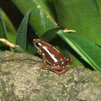 Phantasmal Poison Arrow Frog