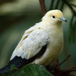 Pied imperial pigeon (3)