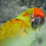 Red Fronted Macaw (3)