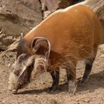 Red River Hog (2)