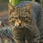 Scottish wildcat (3)