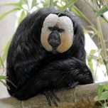White-faced Saki (1) (1)