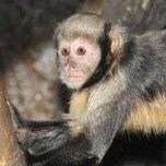 Yellow-breasted Capuchin (4)