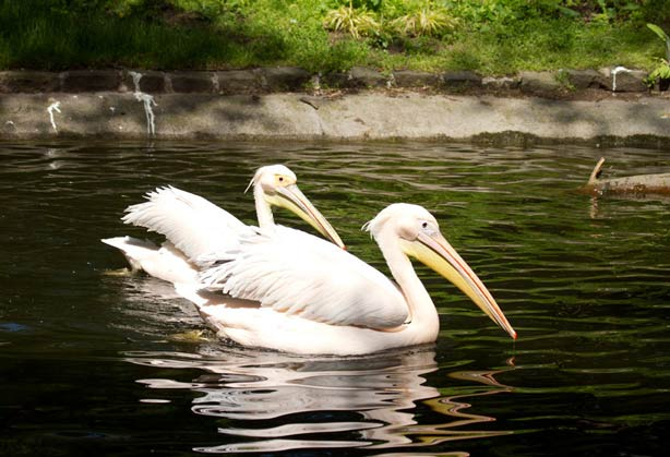 Two Eastern white pelicans swimming in the pelican walkthrough
