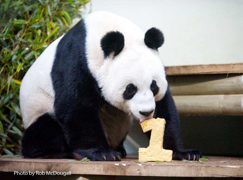 Giant pandas first anniversary at Edinburgh Zoo with panda cake in the shape of a 1