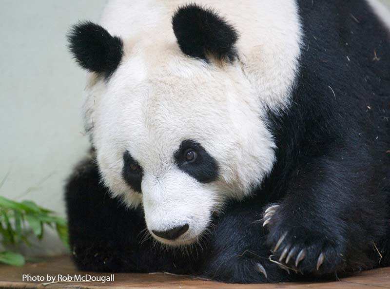 First photo of female giant panda Tian Tian after she arrived at Edinburgh Zoo