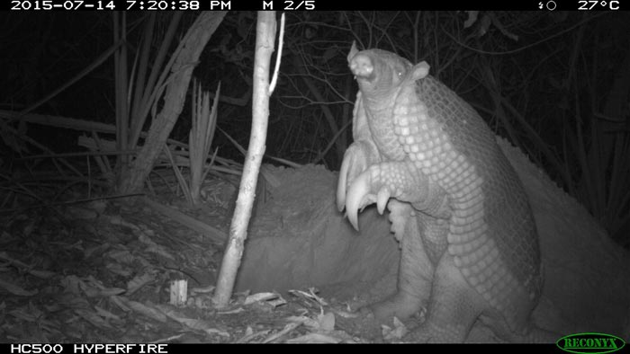 Camera trap footage of a giant armadillo on its hind legs in the Brazilian Pantanal