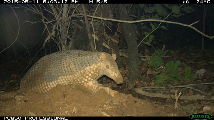 Camera trap image of a giant armadillo in the Brazilian Pantanal