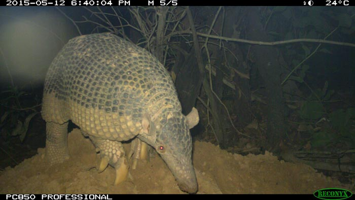 Camera trap footage of a giant armadillo in the Brazilian Pantanal