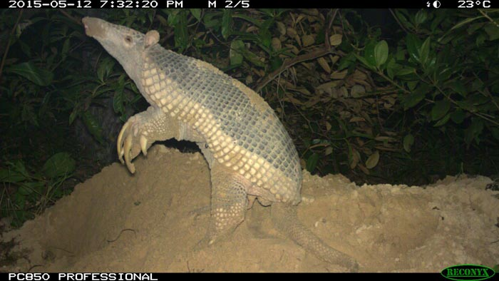 Camera trap footage showing a side view of a giant armadillo on its hind legs