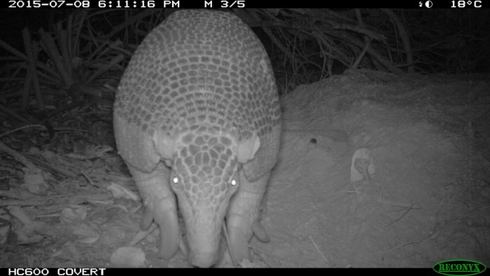 Camera trap footage of Isabel a giant armadillo in the Brazilian pantanal