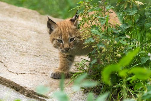 Lynx kitten at RZSS Highland Wildlife Park