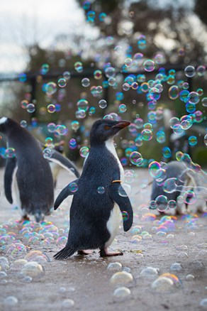 18_01_18_penguinsbubbles_sa_7.jpg