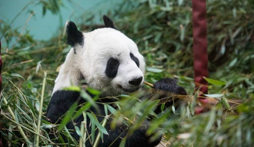 Giant panda Tian Tian eating bamboo at Edinburgh Zoo