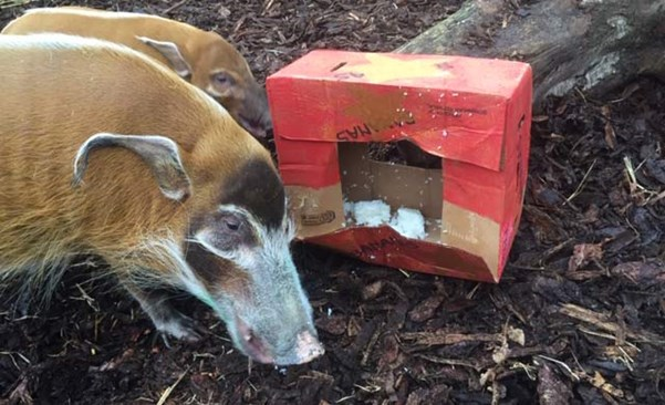Animal enrichment at Edinburgh Zoo with the red river hogs