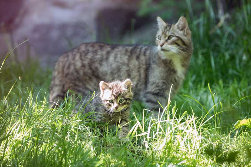 Scottish Wildcat kitten at RZSS Edinburgh Zoo