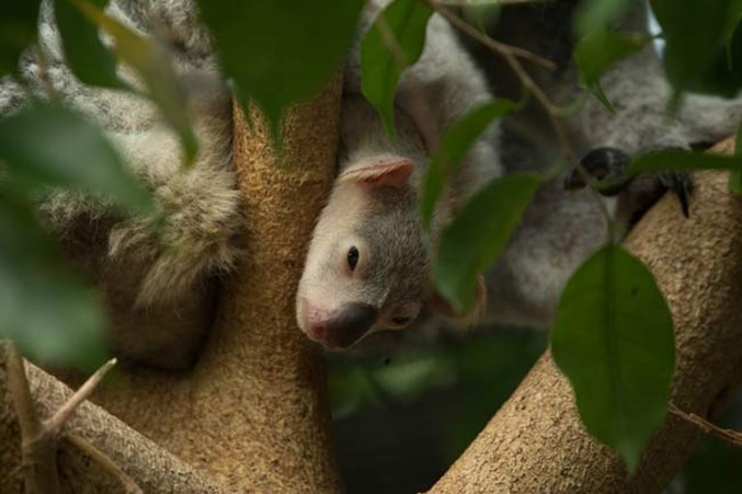 Koala joey peeks out at RZSS Edinburgh Zoo for the first time