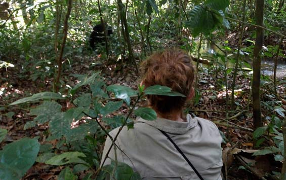 Observing wild chimpanzees in the Budongo Forest