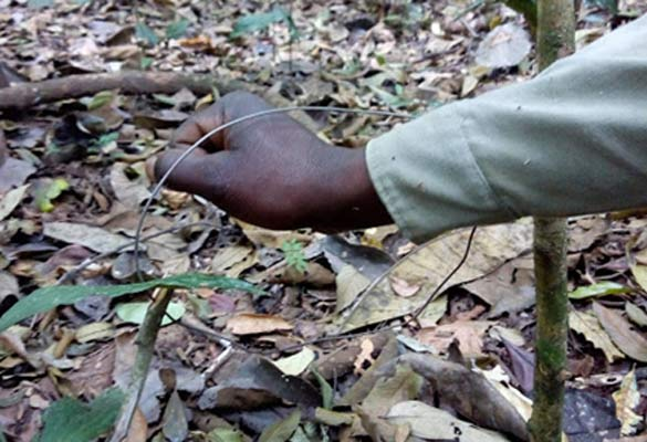 A snare in the Budongo Forest