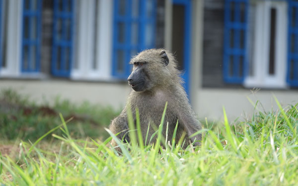 Baboon at the Budongo Conservation Field Station