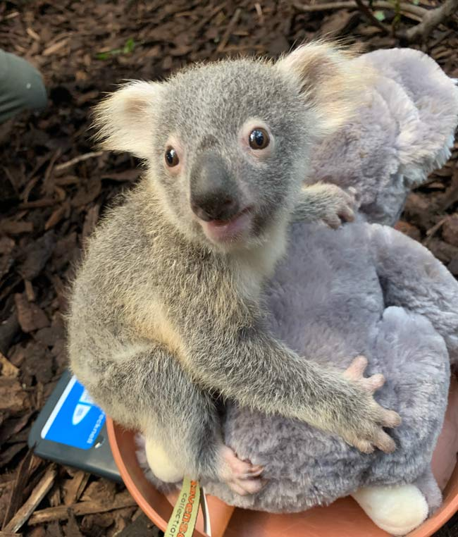 Koala joey Kalari at RZSS Edinburgh Zoo
