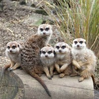Meerkats_group_3_kp_12.02.13.jpg