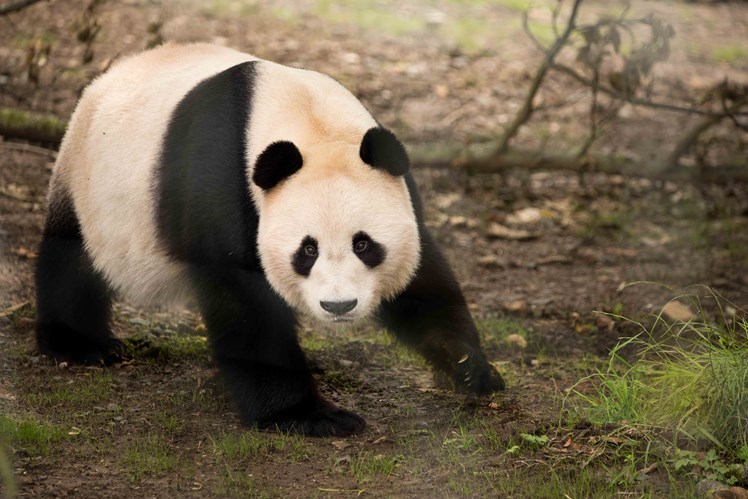 Yang Guang exploring his new home this week.