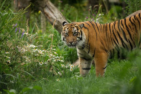 Discover Tiger Tracks | RZSS Edinburgh Zoo | Edinburgh Zoo