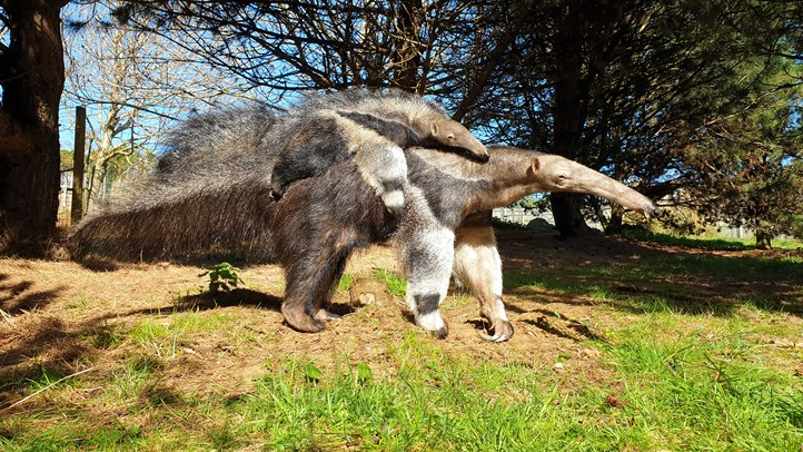Edinburgh Zoo's giant anteater pup named | Edinburgh Zoo
